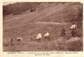 la récolte de lavande avant guerre