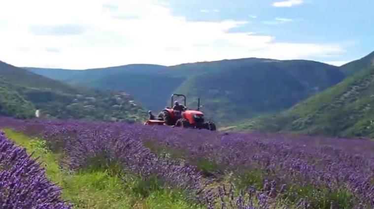 la récolte de la lavande et du lavandin a lieu de mi-juillet à mi-août